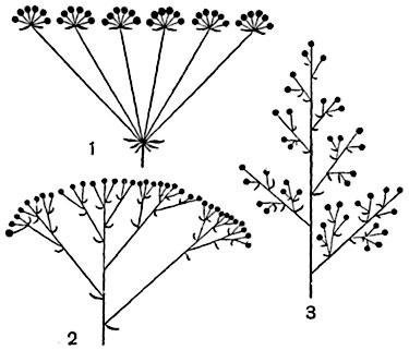 Рис. 303.  Схемы некоторых сложных соцветий.